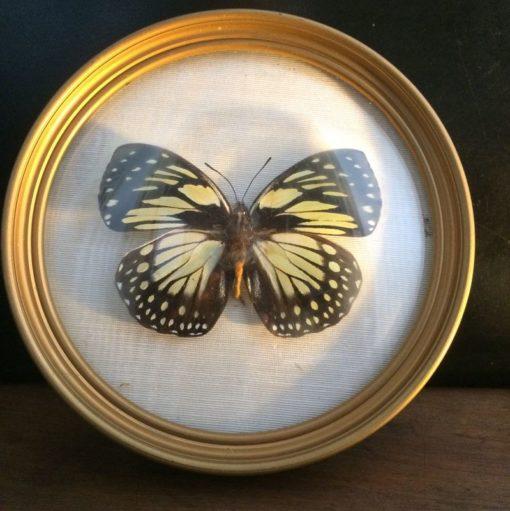 Papillon naturalisé collection vintage