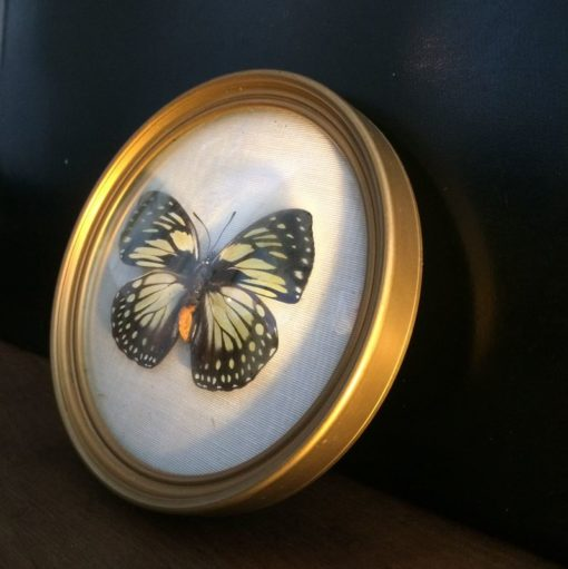 Papillon naturalisé vintage